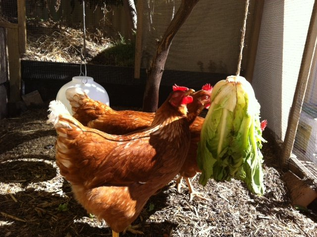5 Hot Tips for Cool Chooks