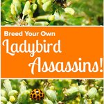 Breed Your Own Ladybird Assassin Squad!