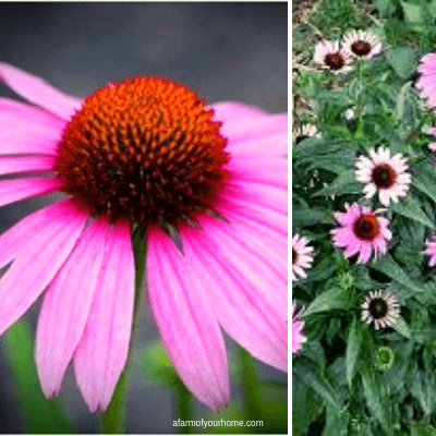 my top 10 perennial herbs for border planting